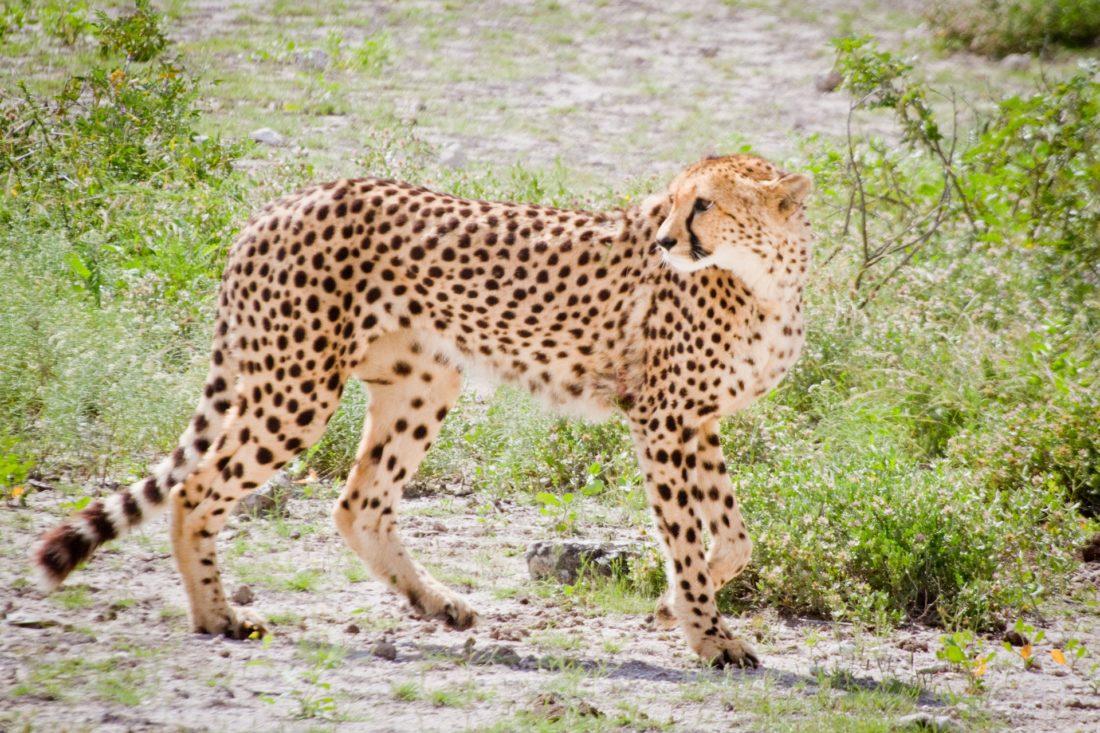 Jeune guépard regardant en arrière